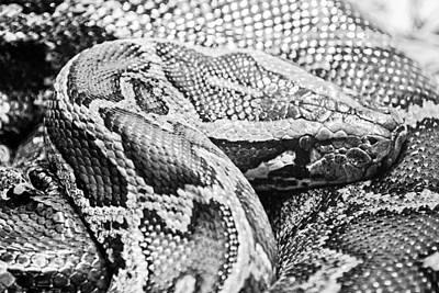 Burmese Python-001 Original by David Allen Pierson
