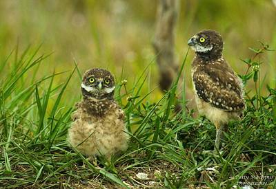 Photograph - Burrowing Owls #2 by Patty MacInnis
