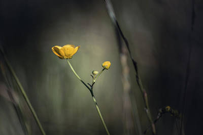 Buttercup Photograph - Buttercup Project No 2 by Chris Fletcher