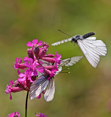 Insect Photograph - Butterflies by Jan Boesen