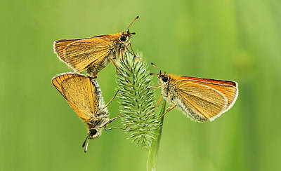 Matting Photograph - Butterflies by Mircea Costina Photography