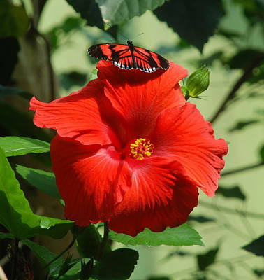 Butterfly Photograph - Butterfly On Hibiscus by Richard Bryce and Family