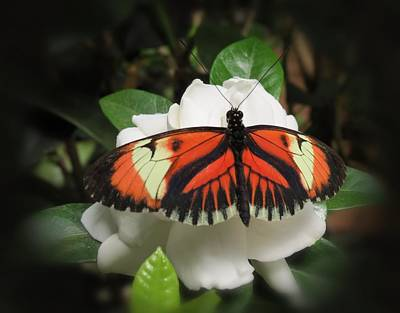 Butterfly On White Print by MTBobbins Photography