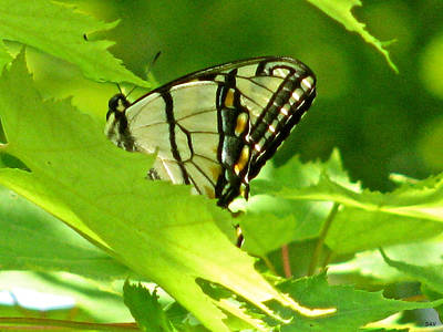 Butterfly Rest In The Leaves Print by Debra     Vatalaro