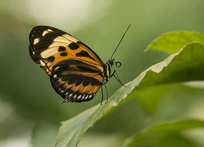 Butterfly Resting On The Leaf Print by Jaroslaw Blaminsky