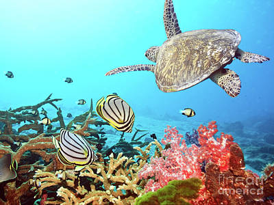 Caribbean Photograph - Butterflyfishes And Turtle by MotHaiBaPhoto Prints
