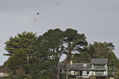 Buzzard Chasing Over Restronguet Point Print by Terri Waters
