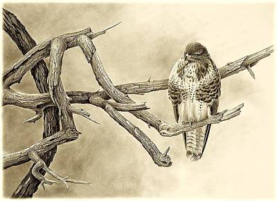 Buzzard Drawing - Buzzard by Dag Peterson