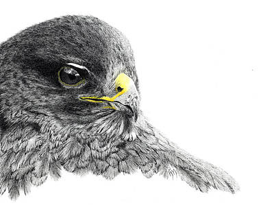 Buzzard Drawing - Buzzard by Hanneke Messelink-Anders
