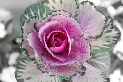 Cabbage  Flower Print by Terence Davis