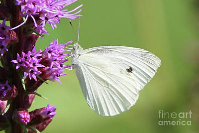 Photograph - Cabbage White Butterfly And Flower by Robert E Alter Reflections of Infinity