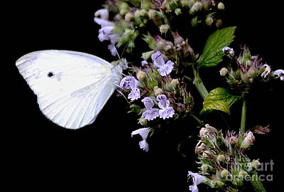 Cabbage White Butterfly Photograph - Cabbage White On Catnip by Randy Bodkins