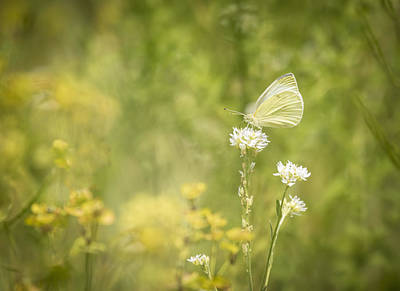 Cabbage White Butterfly Photograph - Cabbage White by Thomas Young
