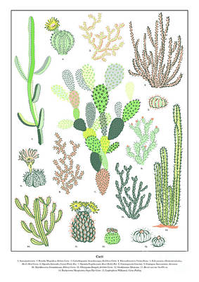 Pear Drawing - Cacti Varieties by Jacqueline Colley