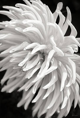 White Flower Photograph - Cactus Dahlia by Wim Lanclus