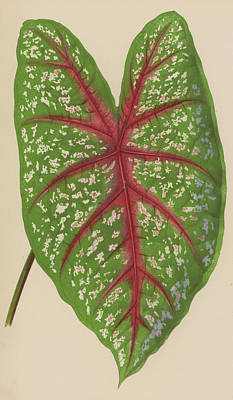 Garden Drawing - Caladium Chantinii  by English School