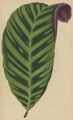 Zebra Drawing - Calathea Zebrina, Maranta Zebrina by English School