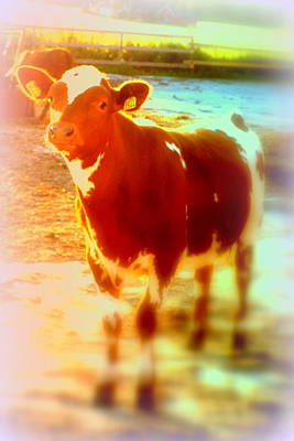 This Calf Has A Hope For A Long And Happy Life But How And When Will It End   Print by Hilde Widerberg