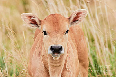 Calf In The High Grass Print by Nick Biemans