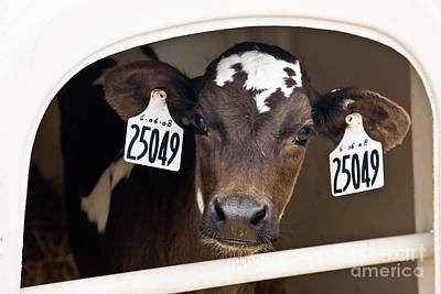 Jersey Cow Photograph - Calf by Inga Spence