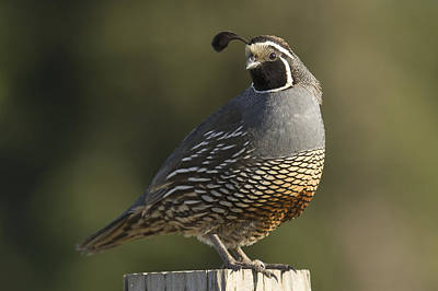 Gamebird Photograph - California Quail Male Santa Cruz by Sebastian Kennerknecht