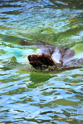 Animals Photograph - California Sea Lion-1611 by Gary Gingrich Galleries