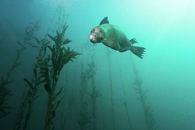 Sea Lion Photograph - California Sea Lion In Kelp by Steven Trainoff Ph.D.
