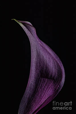 Photograph - Calla 1 by Steve Purnell