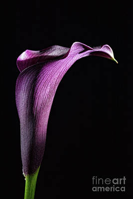 Photograph - Calla 2 by Steve Purnell