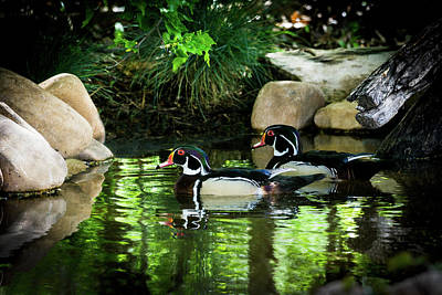 With Red. Photograph - Calm Waters - Wood Ducks by TL Mair