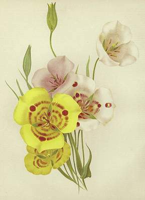 Lilies Drawing - Calochortus by English School