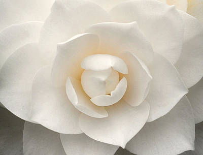 Camellia Photograph - Camellia Perfection by Amanda Rimmer