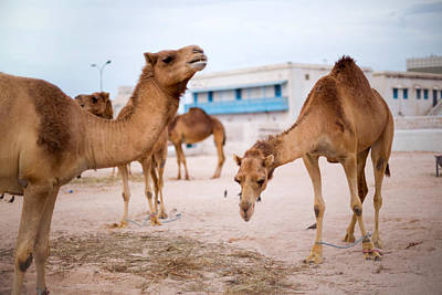 Camel Photograph - Camels Feeding In Qatar  by Paul Cowan