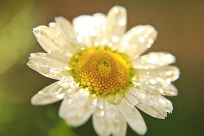 Photograph - Chamomile Flower by Crystal Magee