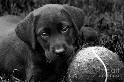 Black Labrador Puppies Photograph - Can We Play  by Cathy  Beharriell