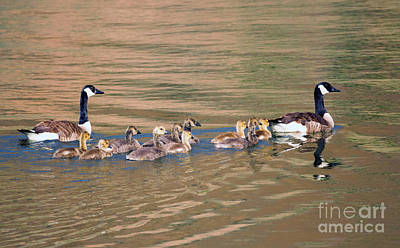 Canadian Geese Photograph - Canada Goose Family by Mike Dawson