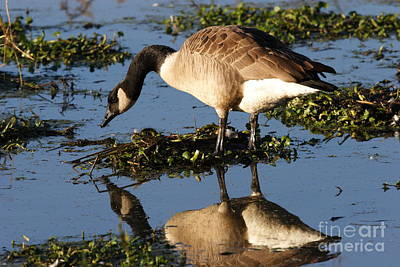 Canada Goose Reflections Print by Morgan Hill