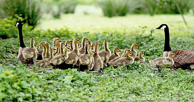 Mother Goose Photograph - Canada Gosling Daycare by Rona Black