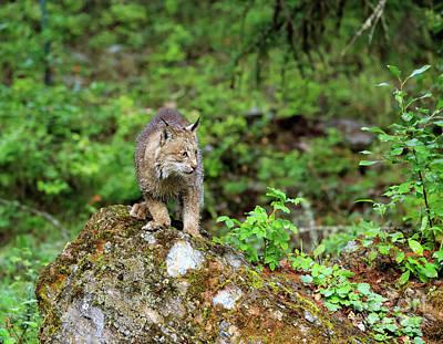 Canadian Lynx Photograph - Canada Lynx by Louise Heusinkveld