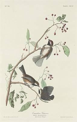 Titmouse Drawing - Canadian Titmouse by John James Audubon