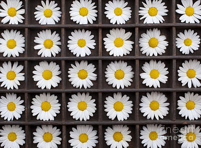 Canary Marguerite Flowers Print by Tim Gainey