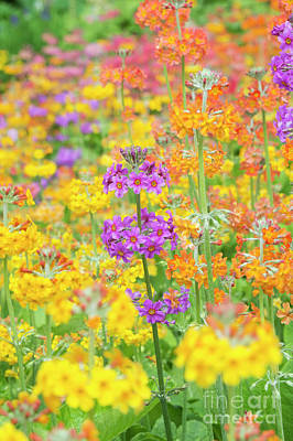 Candelabra Primula Flowers Print by Tim Gainey