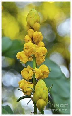 Cassia Blossoms Photograph - Candlestick Cassia by Carol  Bradley