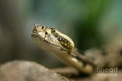 Canebreak Rattlesnake Original by Randy Matthews