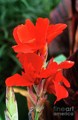 Canna Photograph - Canna Lily 'lucifer' by Adrian Thomas