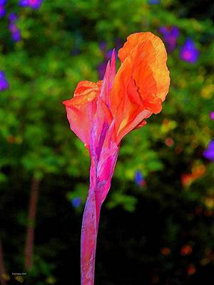 Canna Lily With Althea Print by Fred Jinkins
