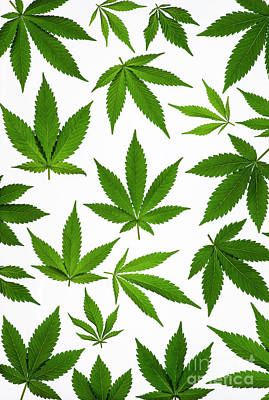 Cannabis Print by Tim Gainey