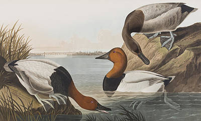 Reeds Painting - Canvas Backed Duck by John James Audubon