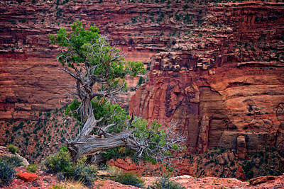 The Plateau Photograph - Canyonlands Juniper by Rick Berk
