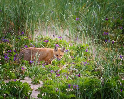 Cape Cod Red Fox Kit Print by Bill Wakeley